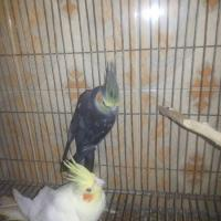 Lutino full Adult female for sell..