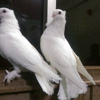 Seraphim Pair For Sell