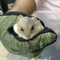 Dwarf Hamster up for sell (2 piece)