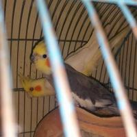 1 pair cocktail bird & 1 baby for sale