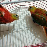 Red Opaline Turquosine Baby Pair for sale